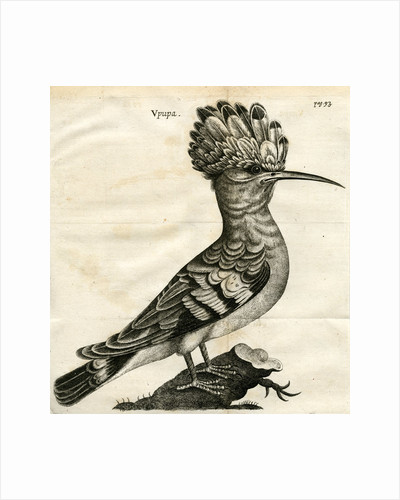 Hoopoe by unknown
