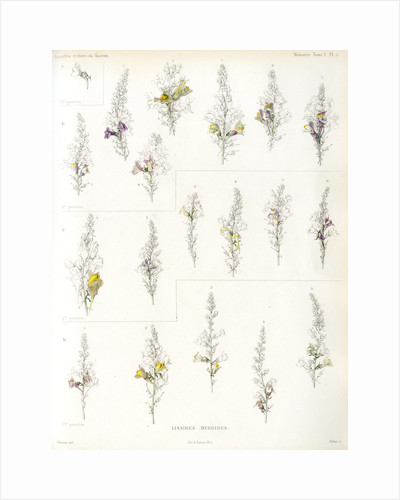 Toadflax hybrids by Debray