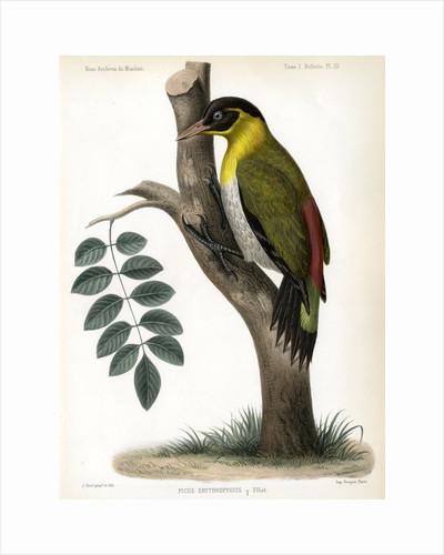 Black-headed woodpecker by J Huet