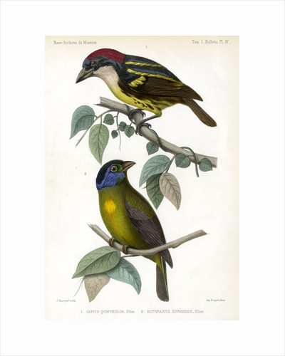 Five-coloured barbet and Moss-backed tanager by J Huet