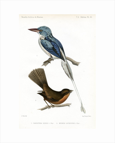 Biak paradise kingfisher and Lesser Antillean pewee by J Huet