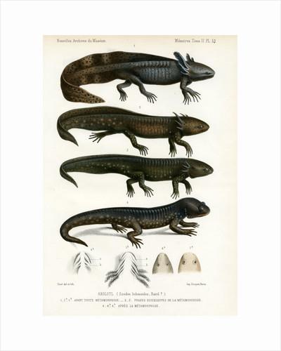 Barred tiger salamander by J Huet