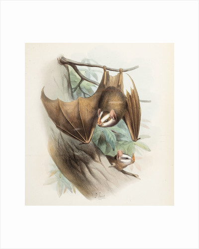 Salvin's big-eyed bat by Joseph Smit