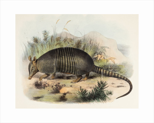Nine-banded armadillo by Joseph Smit