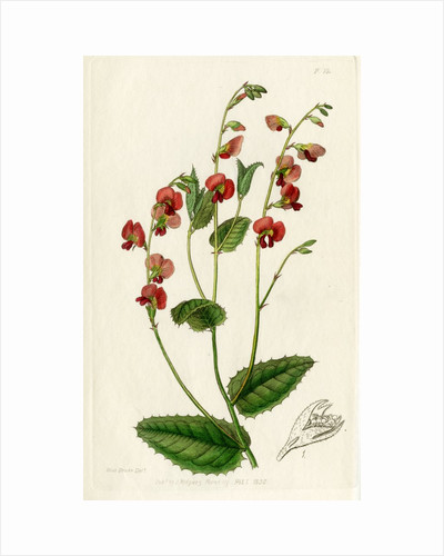 Heart-leaf flame pea by S Watts