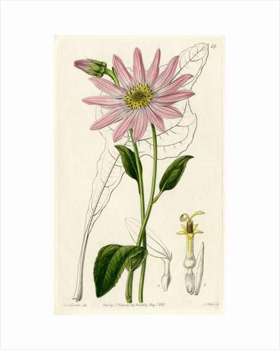 'Mr. Dickson's echinacea' by S Watts