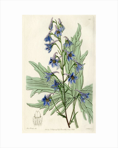 'Loose-flowered larkspur' by S Watts