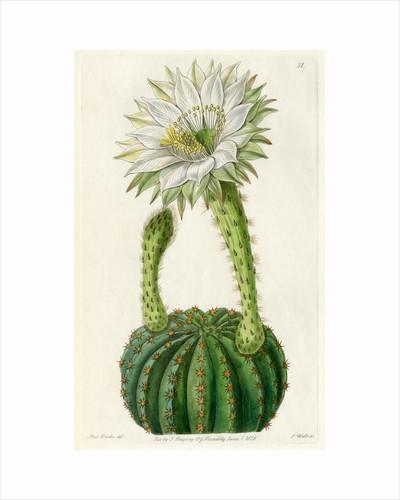 Echinopsis cactus by S Watts