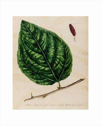 Mulberry specimen by Jacob van Huysum