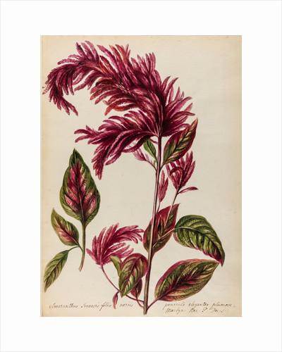 Red amaranth specimen by Jacob van Huysum