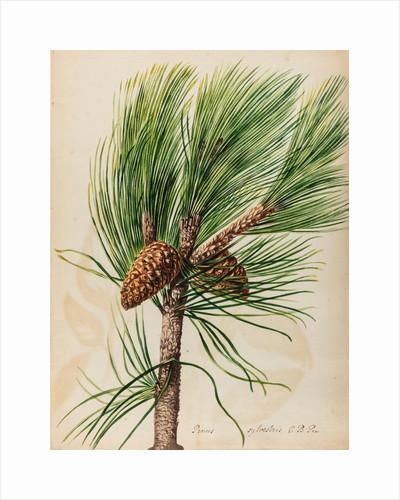 Scots pine specimen by Jacob van Huysum