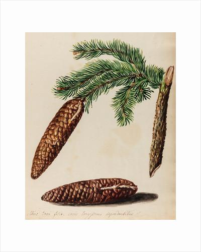 Fir tree specimen by Jacob van Huysum