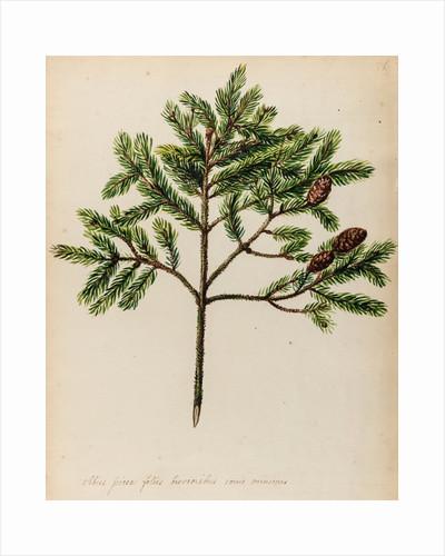 Spruce fir tree specimen by Jacob van Huysum
