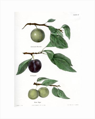 Plum varieties by Ebenezer Emmons junior