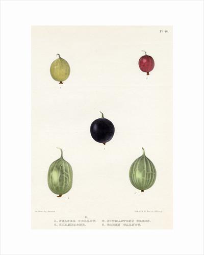 Gooseberry varieties by Frederick J Swinton