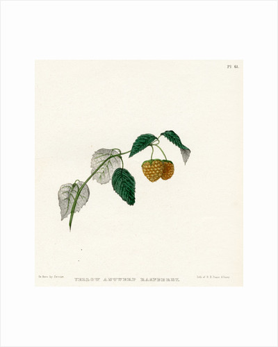 'Yellow Antwerp raspberry' by Frederick J Swinton