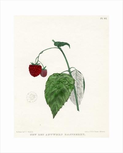 'New Red Antwerp raspberry' by Frederick J Swinton