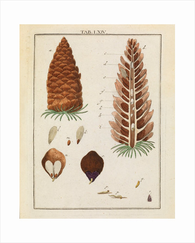 Red fir tree cone and moth by Adam Wolfgang Winterschmidt