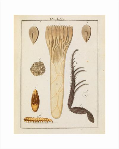 Red fir tree seed and moth by Adam Wolfgang Winterschmidt