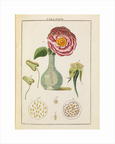 Rose and stamens by Adam Wolfgang Winterschmidt