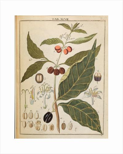 Coffee plant by Adam Wolfgang Winterschmidt
