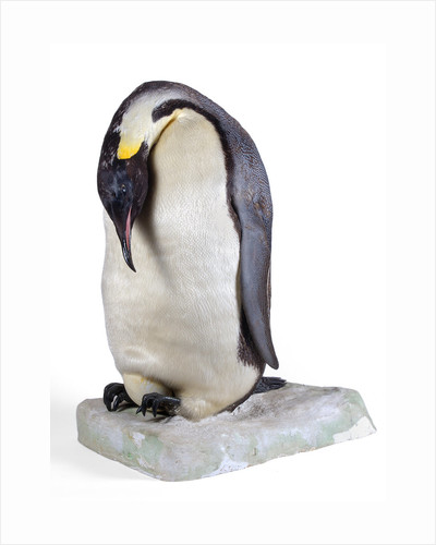 Emperor penguin by Anonymous