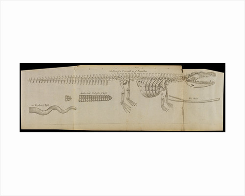 A crocodile skeleton in the Royal Society's Repository by Anonymous