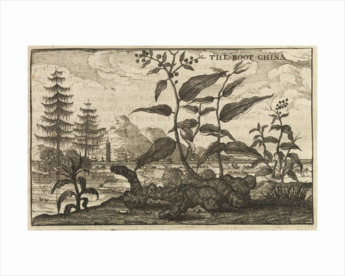 'The Root China' by Wenceslaus Hollar
