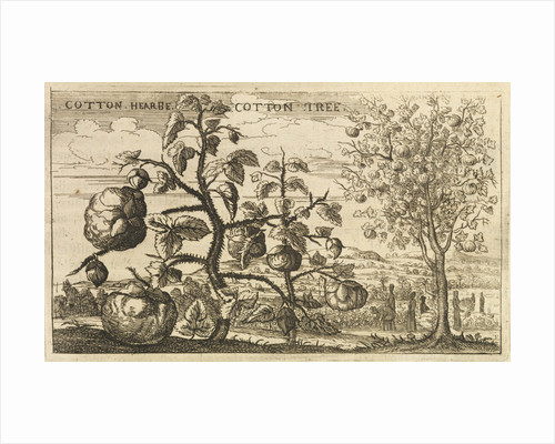 'Cotton Tree' by Wenceslaus Hollar