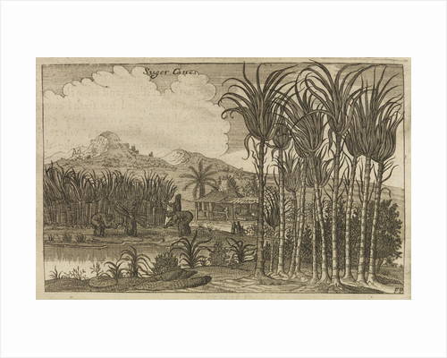 'Sugar canes' by Wenceslaus Hollar