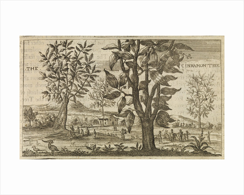 'The Cinnamon Tree' by Wenceslaus Hollar