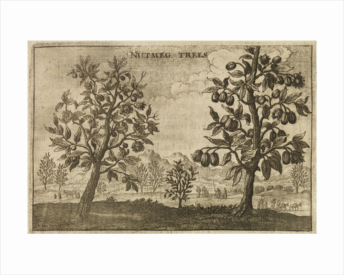 'Nutmeg Trees' by Wenceslaus Hollar
