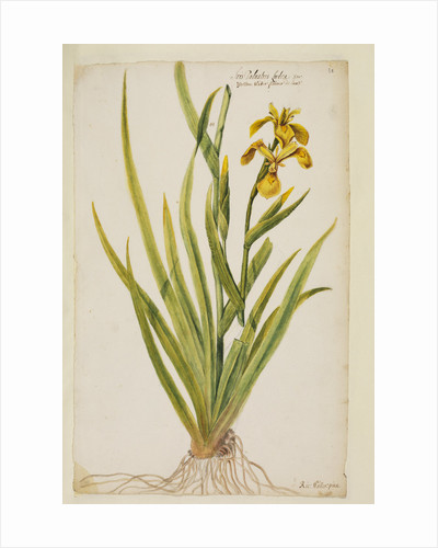 Yellow flag iris by Richard Waller