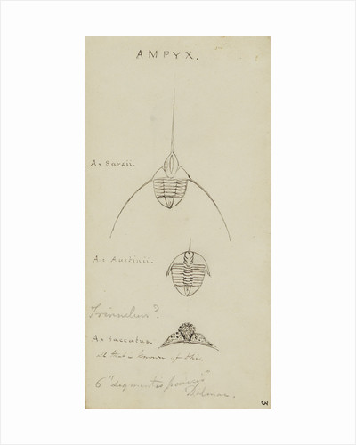 Ampyx, genus of trilobite by Henry James