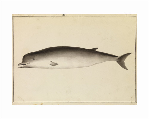 Bottlenose whale by William Bell
