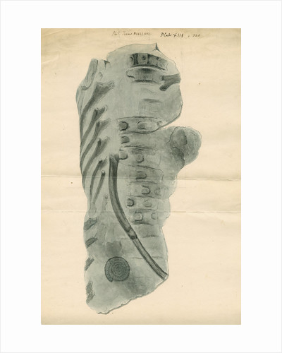 Ichthyosaur ribs fossil by Anonymous