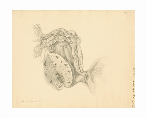 Human ovary by Franz Andreas Bauer
