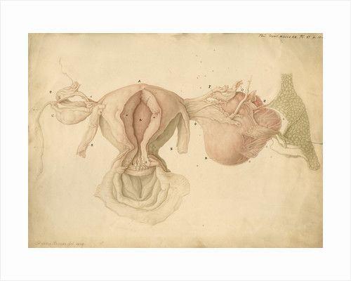 Human uterus and womb by Franz Andreas Bauer