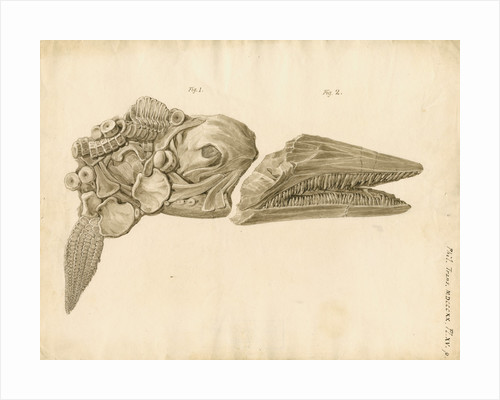 Fossil skull and jaws of the Proteosaurus [Ichthyosaur] by William Clift