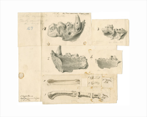 Fossil hyaena jaws and other bones by Thomas Webster