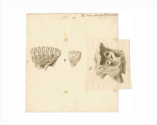 Fossil teeth of elephant and rhinoceros by Thomas Webster