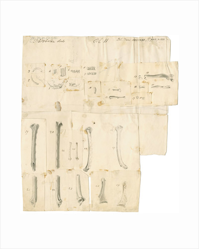 Fossil teeth and bones of water-rat, mouse, rabbit, raven, lark, pigeon and duck by Thomas Webster