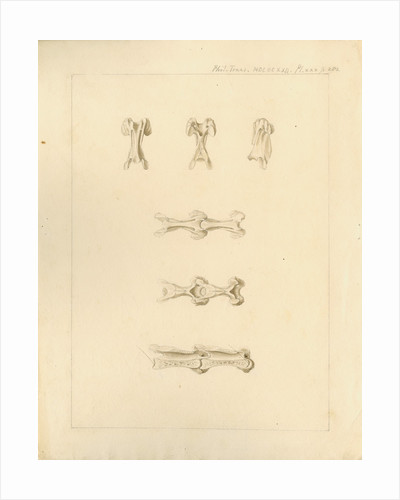 Vertebrae of the spines of birds by Anonymous