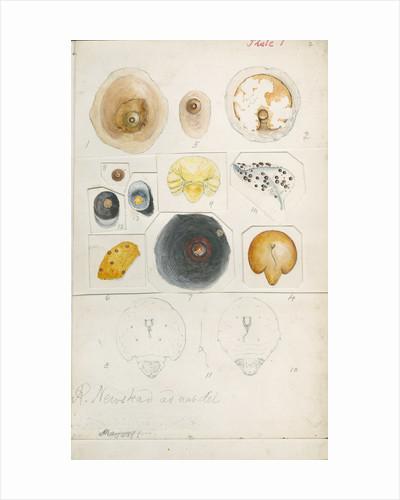 Aspidiotus auranth and Aspidiotus ficus by Robert Newstead