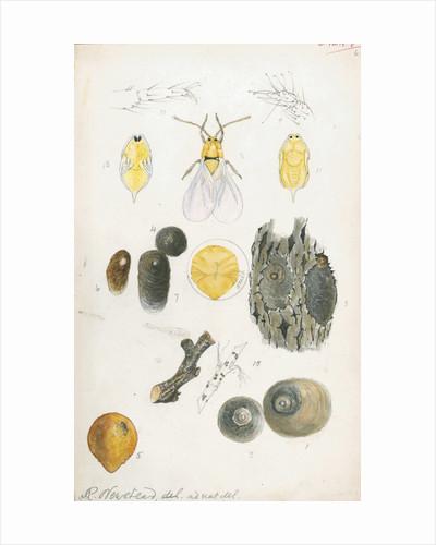 Aspidiotus ostreaeformis [European fruit scale] by Robert Newstead