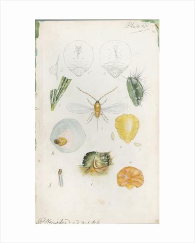 Diaspis bromellae [Pineapple scale], Diaspis boisduvalii [Biosduval scale] and Diaspis calyptroides [Cactus scale] by Robert Newstead