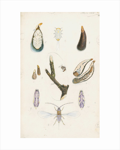 Mytilaspis pomorum [Mussel scale] by Robert Newstead