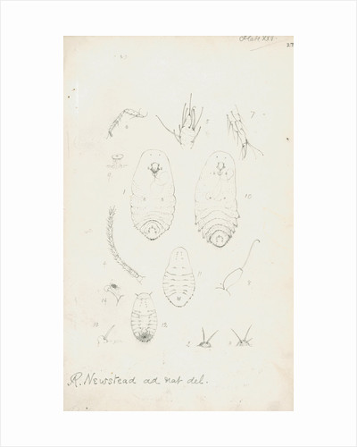 Mytilaspis pomorum [Mussel scale], Mytilaspis pinnaeformis and Pinnaspis buxi [Boxwood scale] by Robert Newstead