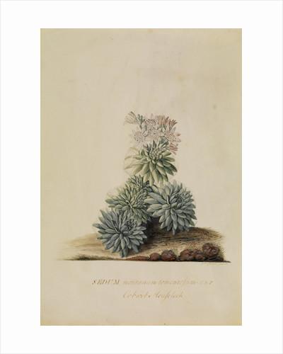 'Sedum montanum...' by Georg Dionysius Ehret