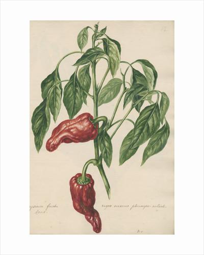 'Capsicum fructu rugoso...' by Jacob van Huysum